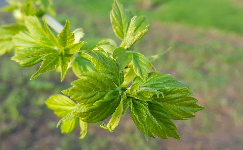 Зеленые листочки распустились весной